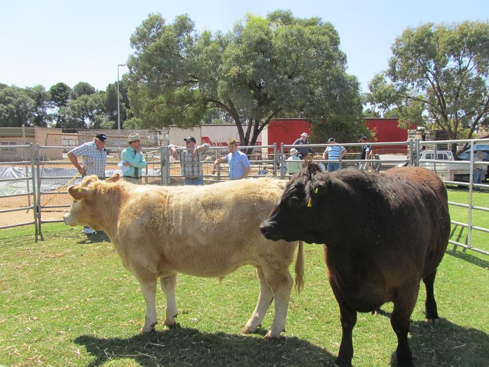 Loxton Show Cows